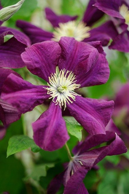 clematis 39 warszawska nike 39 a kertben pinterest clematis garden fencing and gardens. Black Bedroom Furniture Sets. Home Design Ideas