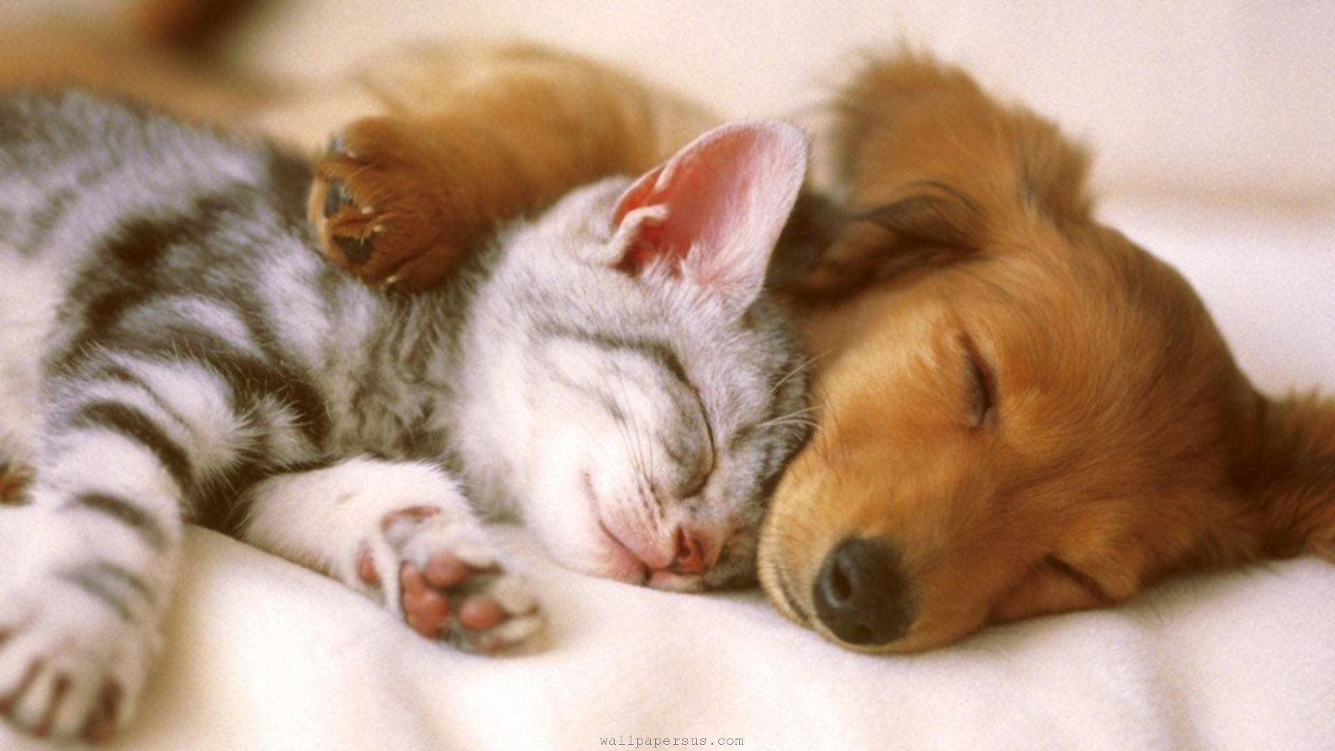 Delightful Picture Of Golden Dachshund Puppy And Kitten Sleeping Together Dogs Hugging Kittens And Puppies Animals Friendship
