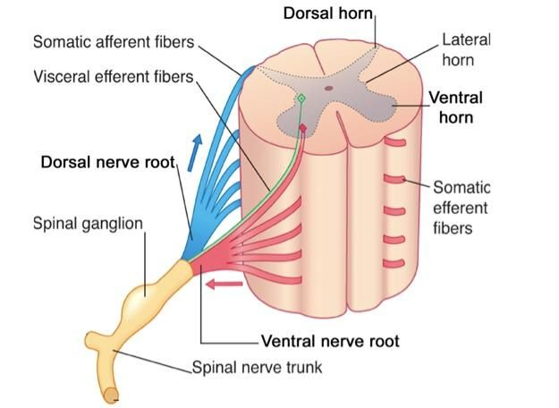 spinal cord anatomy | Spinal Cord and Spinal Nerves | Spinal Cord ...
