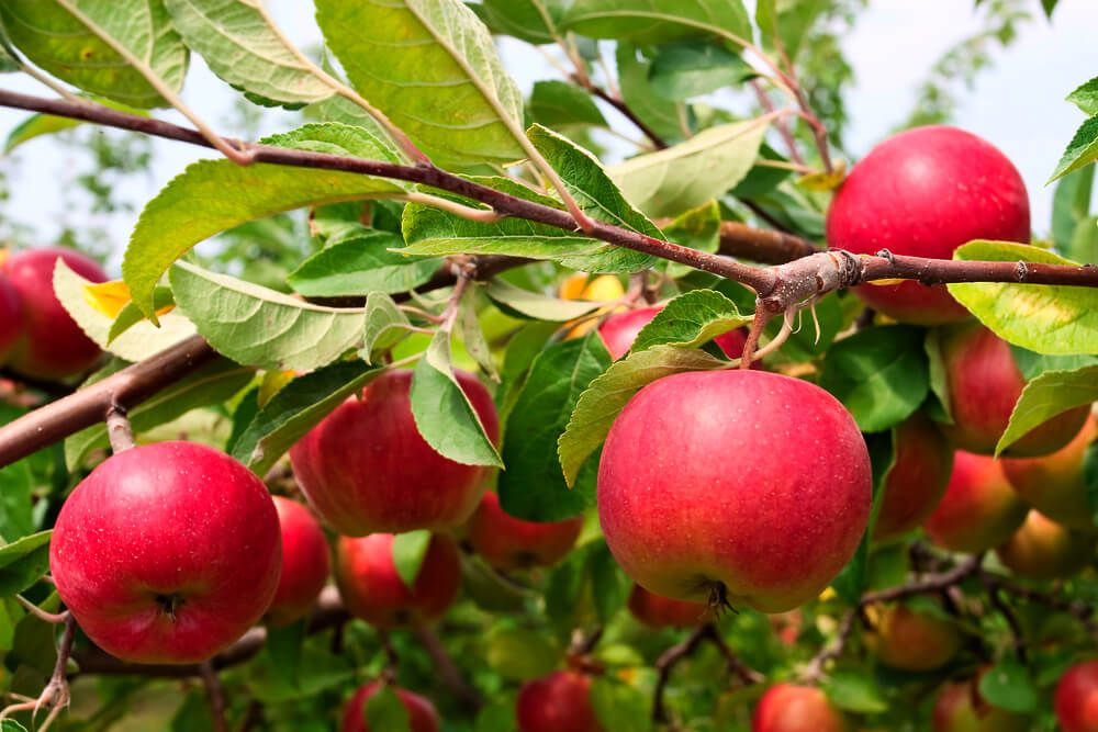 How To Grow An Apple Tree Apple Tree From Seed Growing Fruit Trees Apple Seeds
