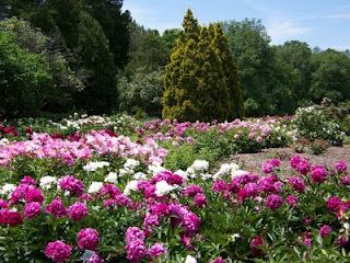 Sea Of Peonies, Milwaukee Boerner Botanical Gardens
