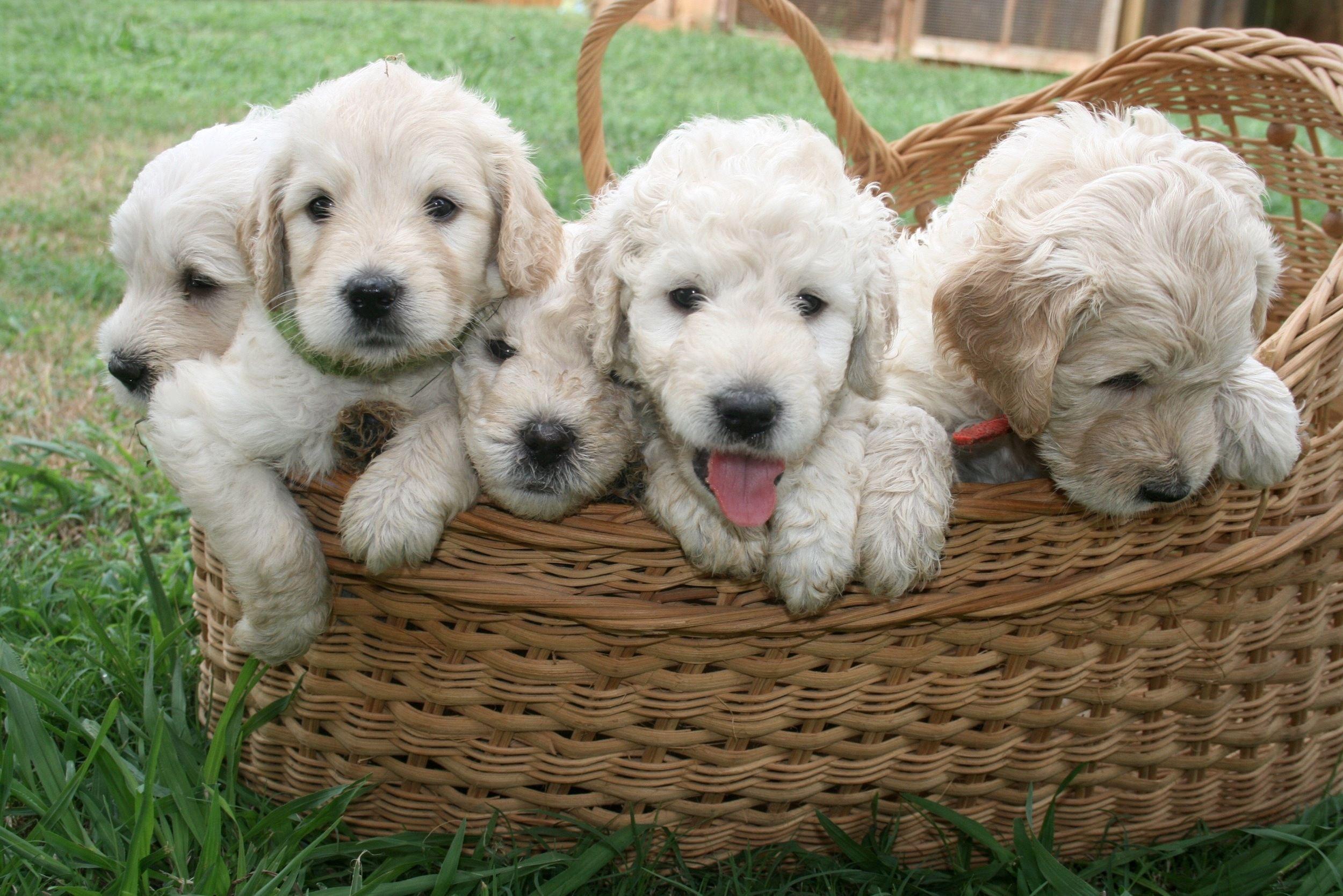 English goldendoodle puppies in mini petite mini medium