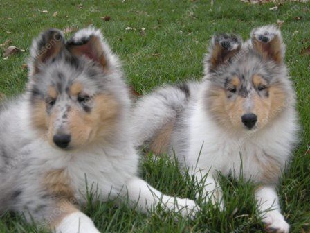 Collie Puppies Wm Rotating 8 Week Rough Blue Merle Collie Puppies Rp Jpg Rough Collie Collie Puppies Blue Merle Collie