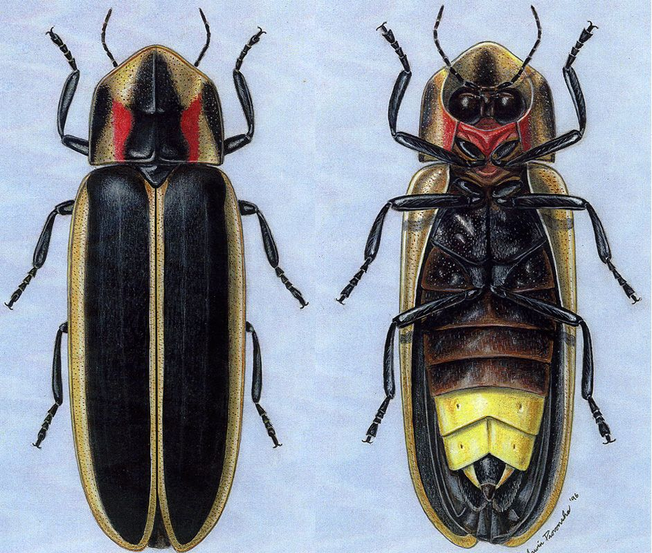 Tis the season  Lampyridae is a family of insects in the beetle     Tis the season  Lampyridae is a family of insects in the beetle order  Coleoptera  They are winged beetles  and commonly called fireflies or  lightning bugs
