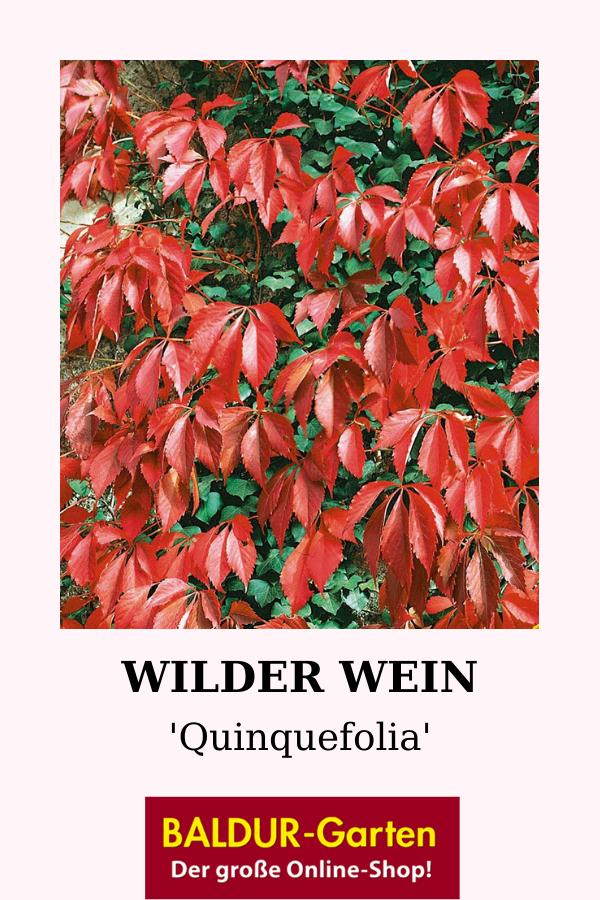 Wilder Wein 'Quinquefolia'
