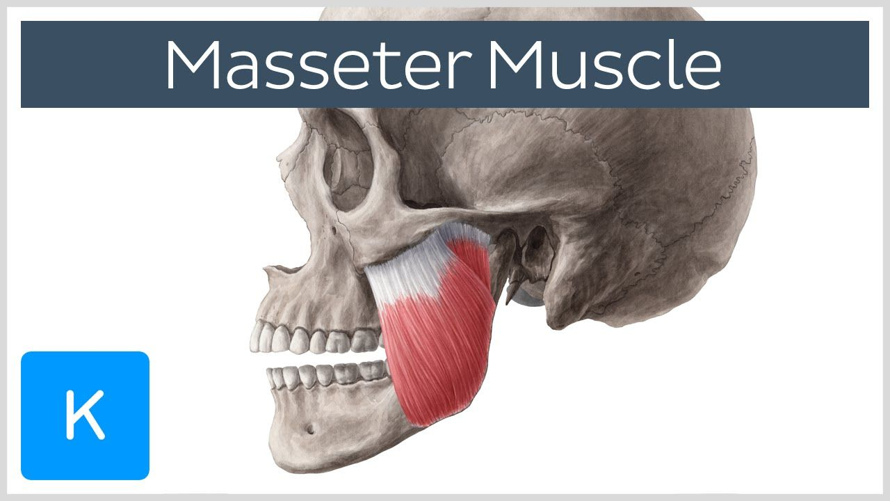 Masseter Muscle - Function, Origin, Insertion & Innervation - Human ...