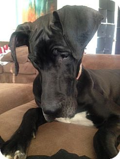 Pin by Jo Wiest on Rescue Dogs | Dogs, Great dane rescue