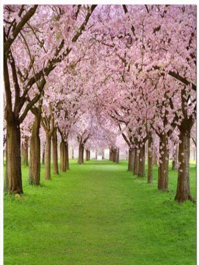 Cherry Blossom Trees Manzara Resimleri Cicek Acan Agaclar Galeri