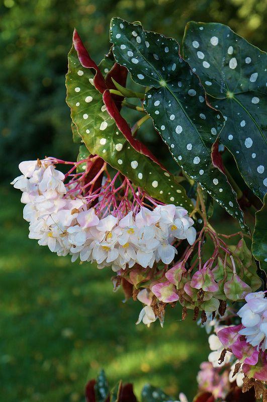 Begonia Maculata Var Wightii 3 Begonia Maculata Plants Begonia