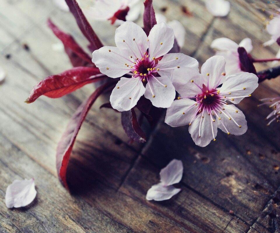 Mobili ciliegio ~ Fiori di ciliegio cover pinterest flowers