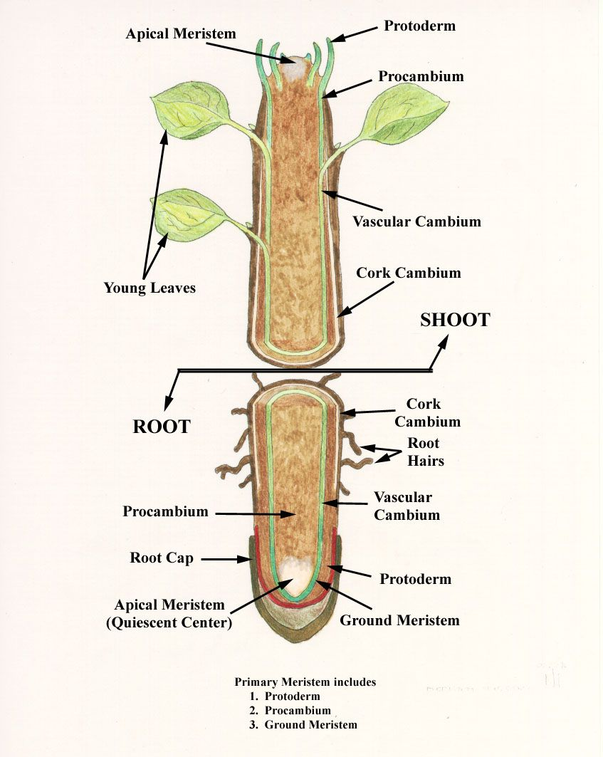 Internal Structure Of Root Plant Roots Root Ground Tissue [ 1063 x 847 Pixel ]