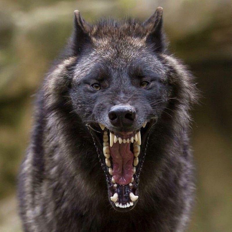 бэнкси показать оскал волка фото заказ