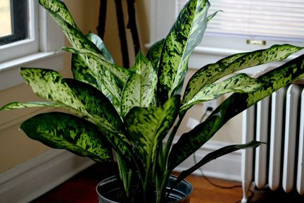 pretty dieffenbachia house plant. Dieffenbachia or the Dumb Cane has some of most beautiful foliage  dumbcane houseplants