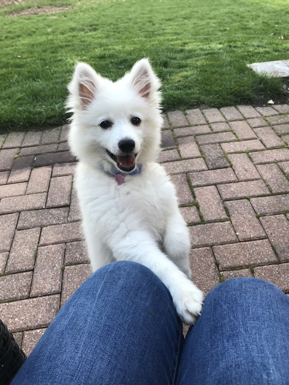American Eskimo Dog Puppies For Sale Oswego Il American