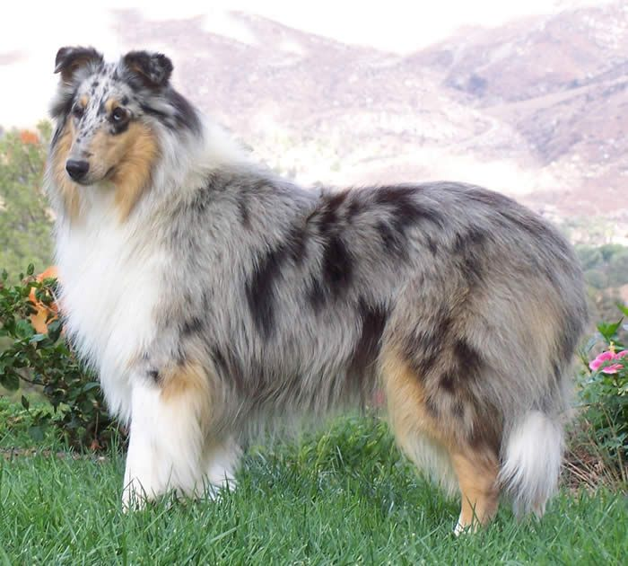 Pin By Rl Johnson On Animals I Love Blue Merle Collie Rough Collie Collie
