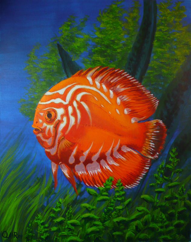 Orange discus fish symphysodon somethings fishy 39 round for Colorful freshwater aquarium fish