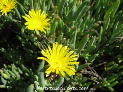 The rocky point ice plant maleflora luteal has dainty yellow the rocky point ice plant maleflora luteal has dainty yellow succulent flowers mightylinksfo