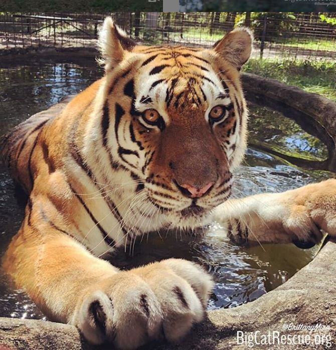The Tigers are enjoying their pools again now that Florida