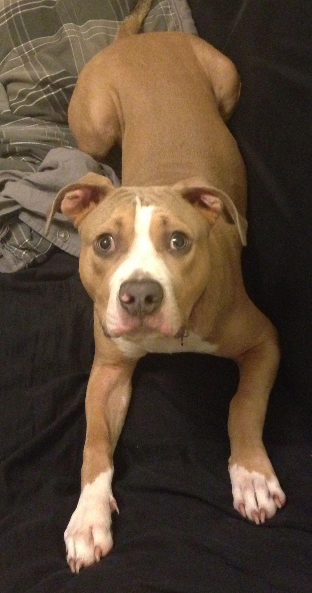 Six months old. Pitbull Pitbulls, Dogs, Animals
