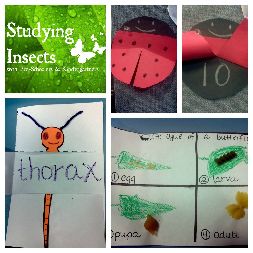 Studying Insects With Pre K And Kindergarteners Amp A