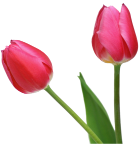 tulipe png