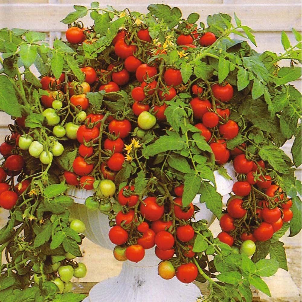 Tomato Maskotka Com Imagens Jardim Comestível 640 x 480