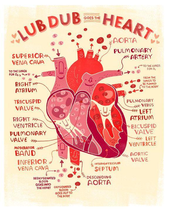 Partes del corazón según Rachel Ignotofsky | I\'m a nurse | Pinterest ...