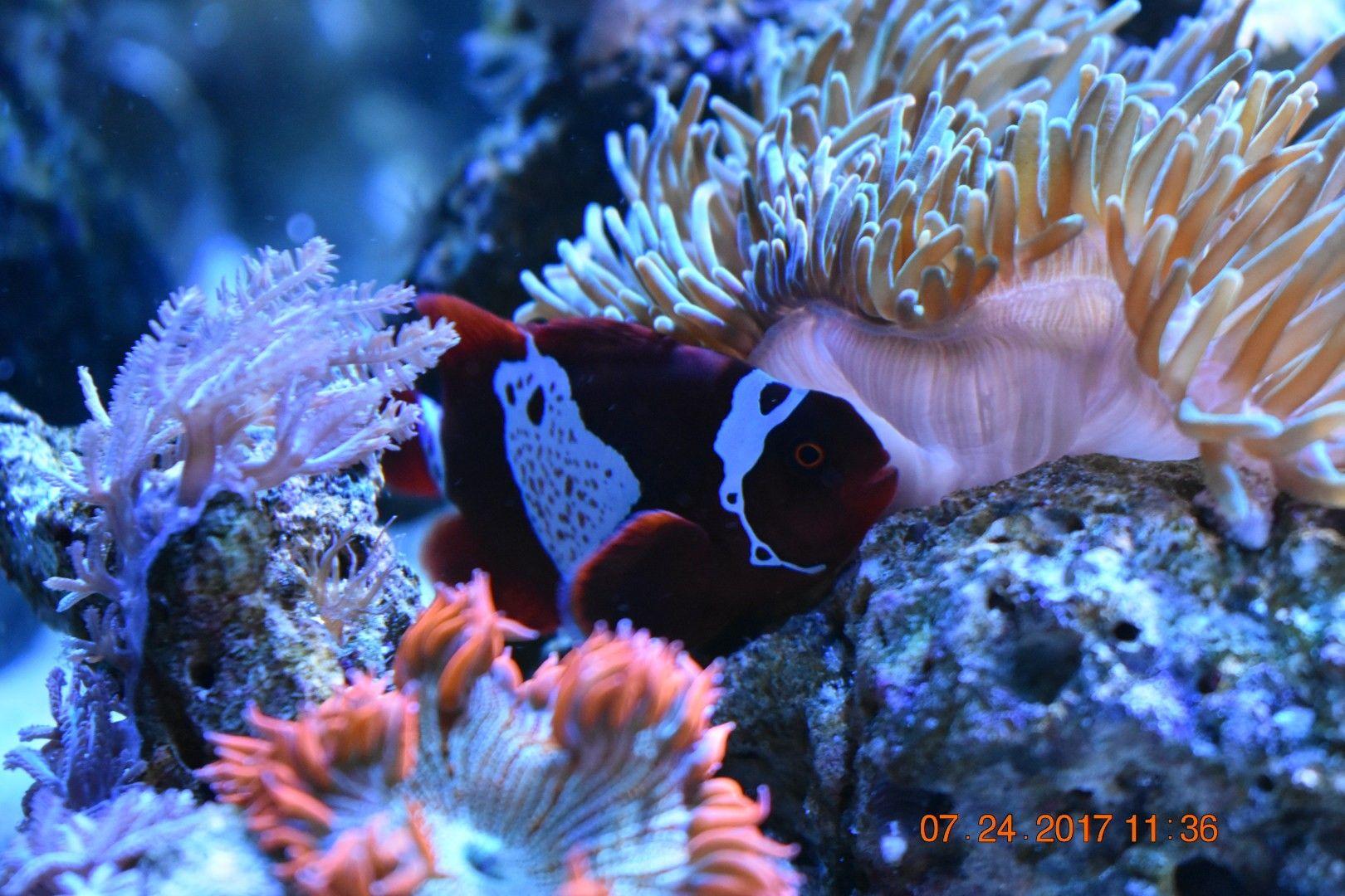 My Lightning Maroon Clown Anubis Fish Pet Ocean Life Pets