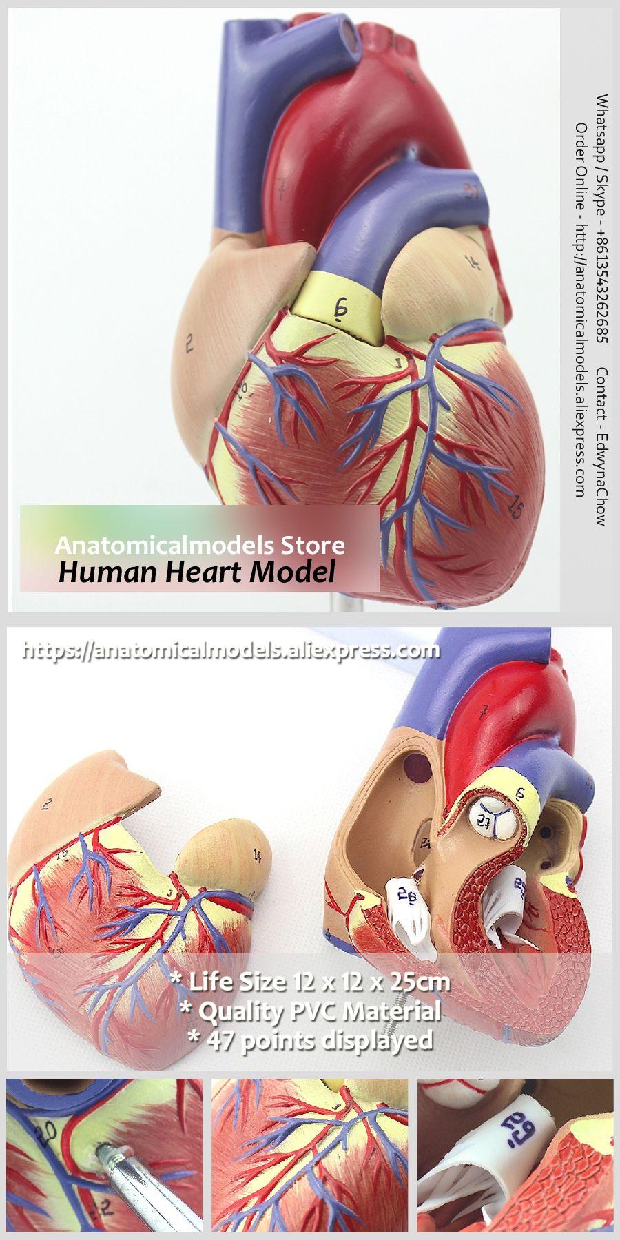 Freeshipping Human Anatomical Heart Model, HEART03   School ...