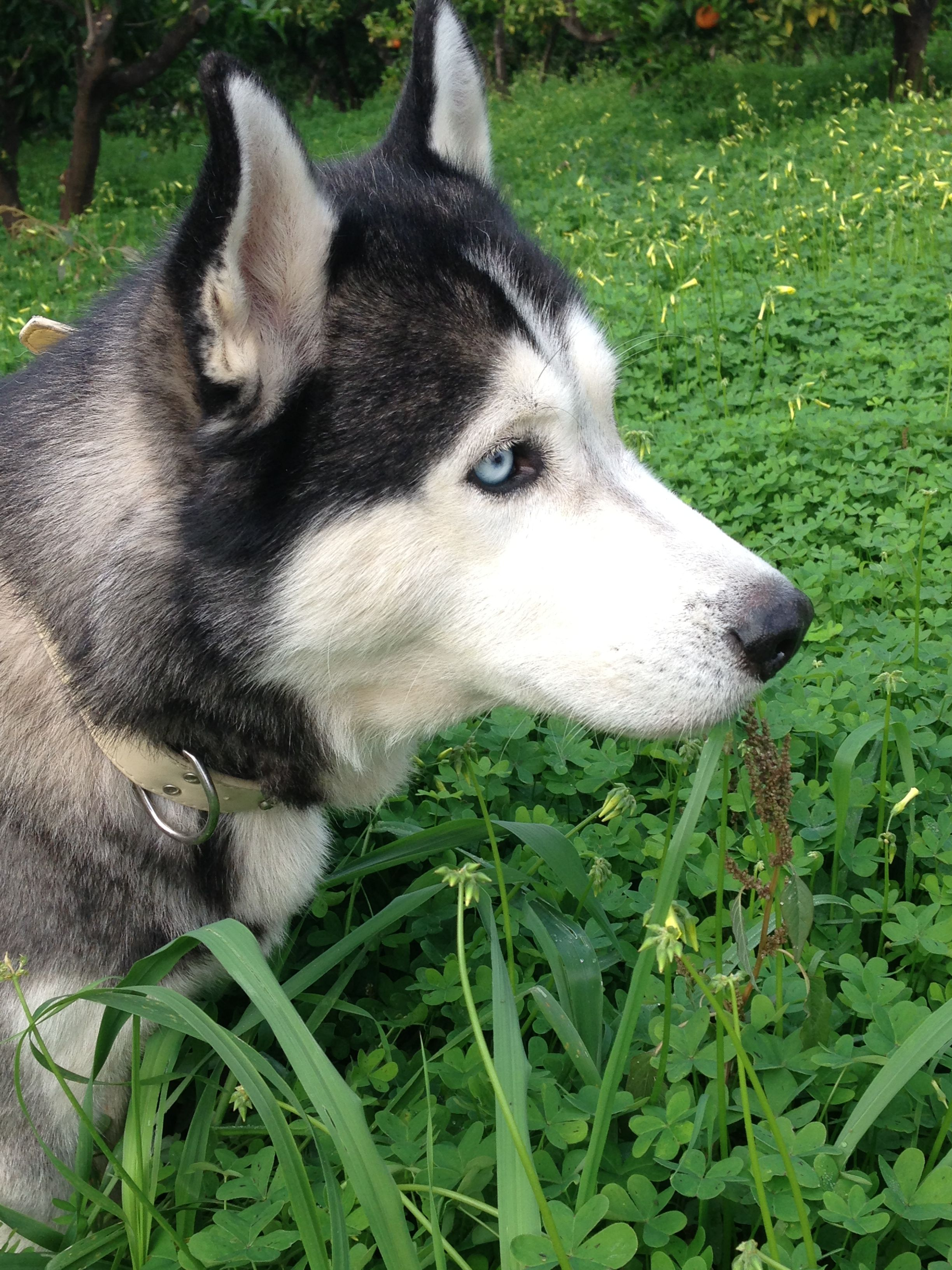 Pin By Bev Markello On Dogs With Images Siberian Husky Husky