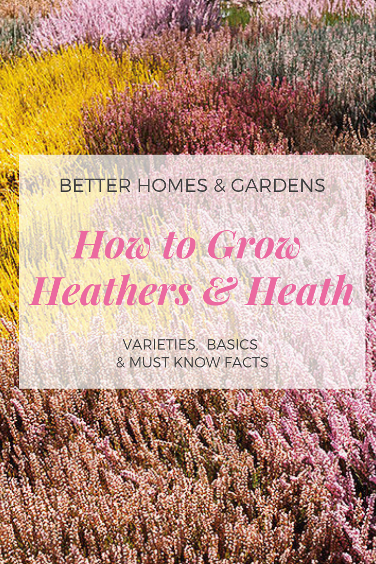 All About Growing Heathers And Heaths In The Garden Heather Gardens Heath Plant Garden Types