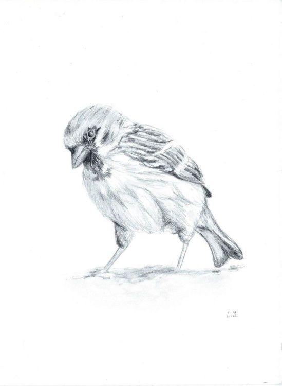 Sparrow Sketches Set Of 4 V Roce 2019 Kreslena Zvirata Ptaci Atd