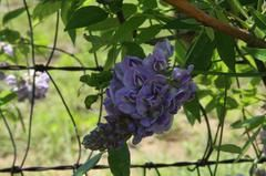 Wisteria Frutescens Plant Finder This Is Our Variety Can T Believe I Know It Now So Excellent And It S An American Native Varie Plant Finder Plants Vines
