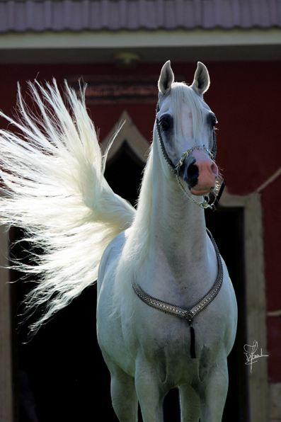 Imperial Baarez (PVA Kariim x BB Ora Kalilah by Orashan) 1996 grey SE stallion - bred by the Imperial Egyptian Stud