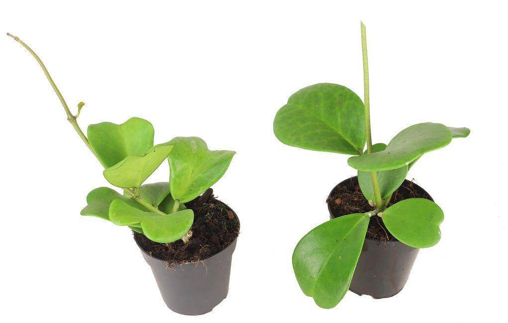 Hoya Kerrii Hoja Sercowata Zielony Parapet Parapet Plants