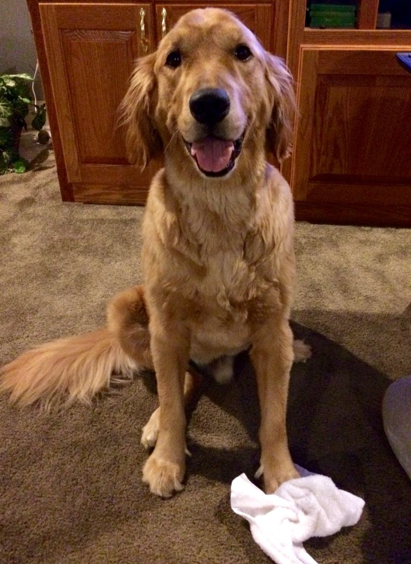 Rusty Ready To Play With His Towel Golden Retriever