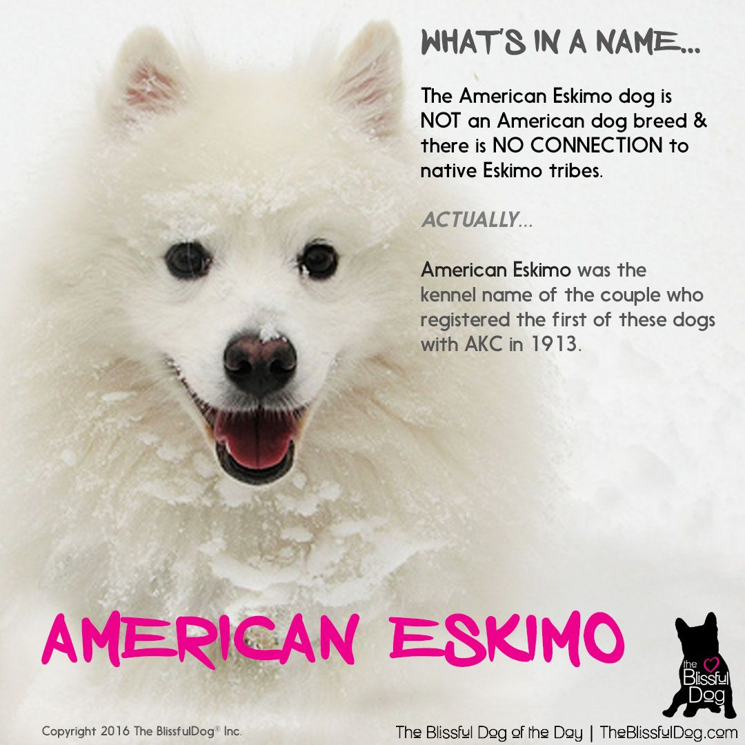 American Eskimo Dog Fun Facts Did You Know Where The Name Came
