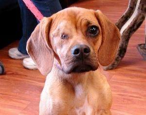 Adopt Lucy Sweetest Puppy Ever On Petfinder Puppies Pug Beagle Mix Hound Breeds