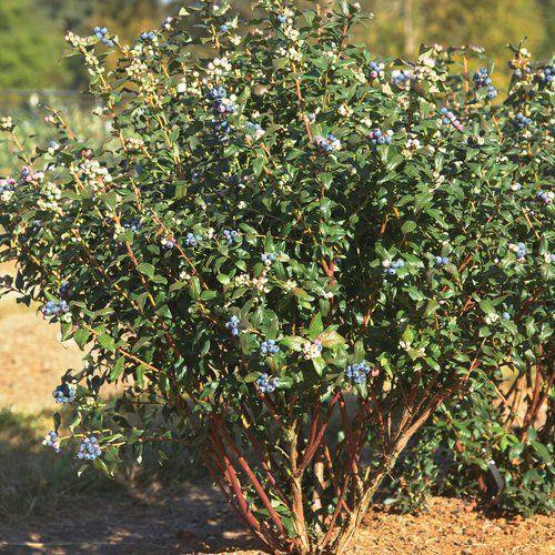 Perpetua Blueberry