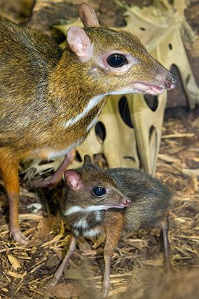 """Take that, Bambi."" Tininess + huge eyes + spindly legs = number of strange, sappy noises made by grown-ups. Take this math, apply to this teeny-tiny mouse deer mama and teenier-tinier mouse deer baby, and the result is a cacophony of clucking and aws. The bonus: 10 percent of all proceeds of ZooBorns (the book in which this photograph appears) go to support the Association of Zoos and Aquariums' Conservation Endowment Fund."