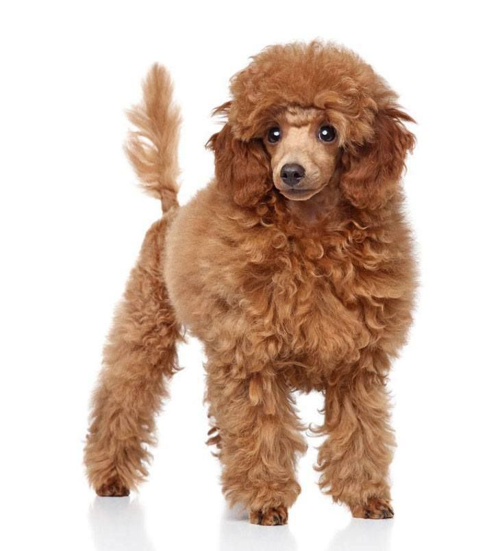 Poodle Names French Standard Toy Names For Poodles Red