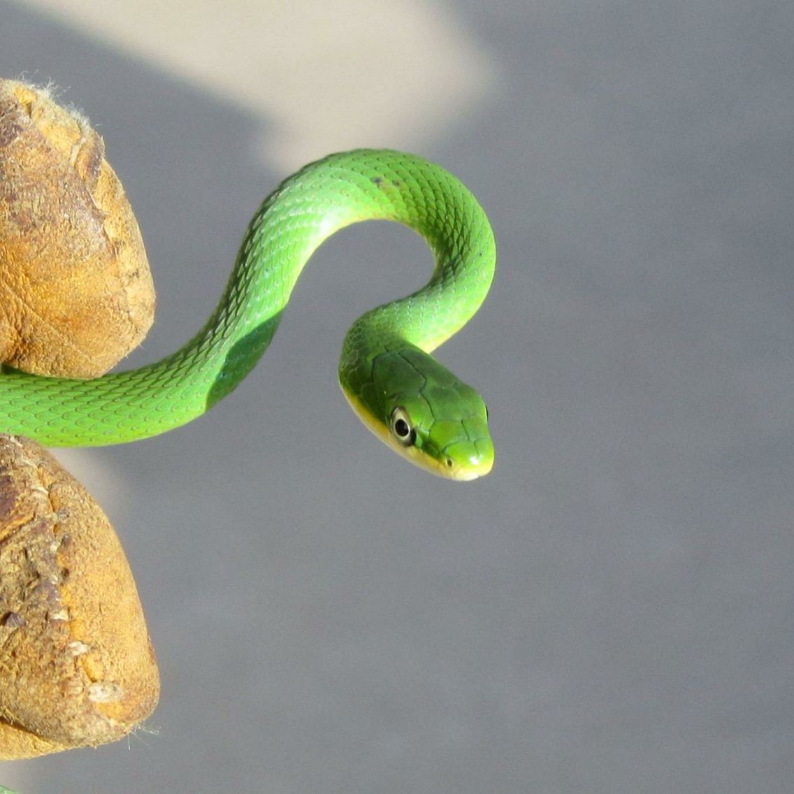 The Rough Green Snake Is Docile Often Allowing Close Approach By Humans And Seldom Bites Reptiles And Amphibians Snake Green Snake