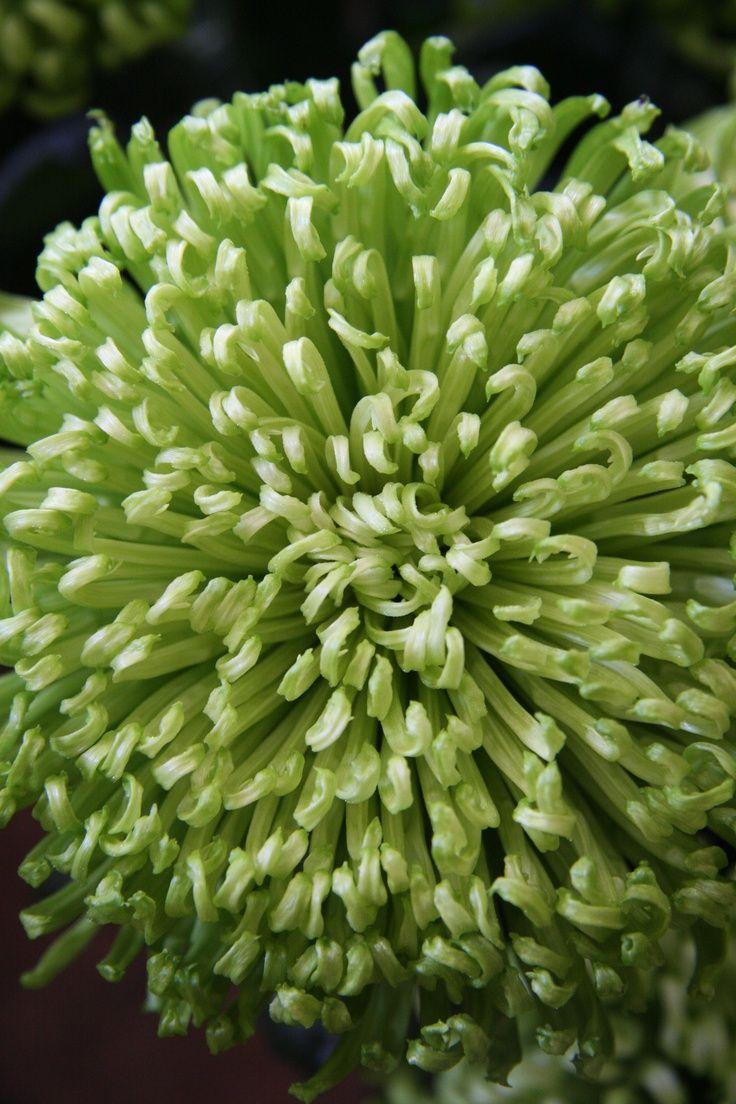 Chrysanthemum anastasia dark green mana vietne