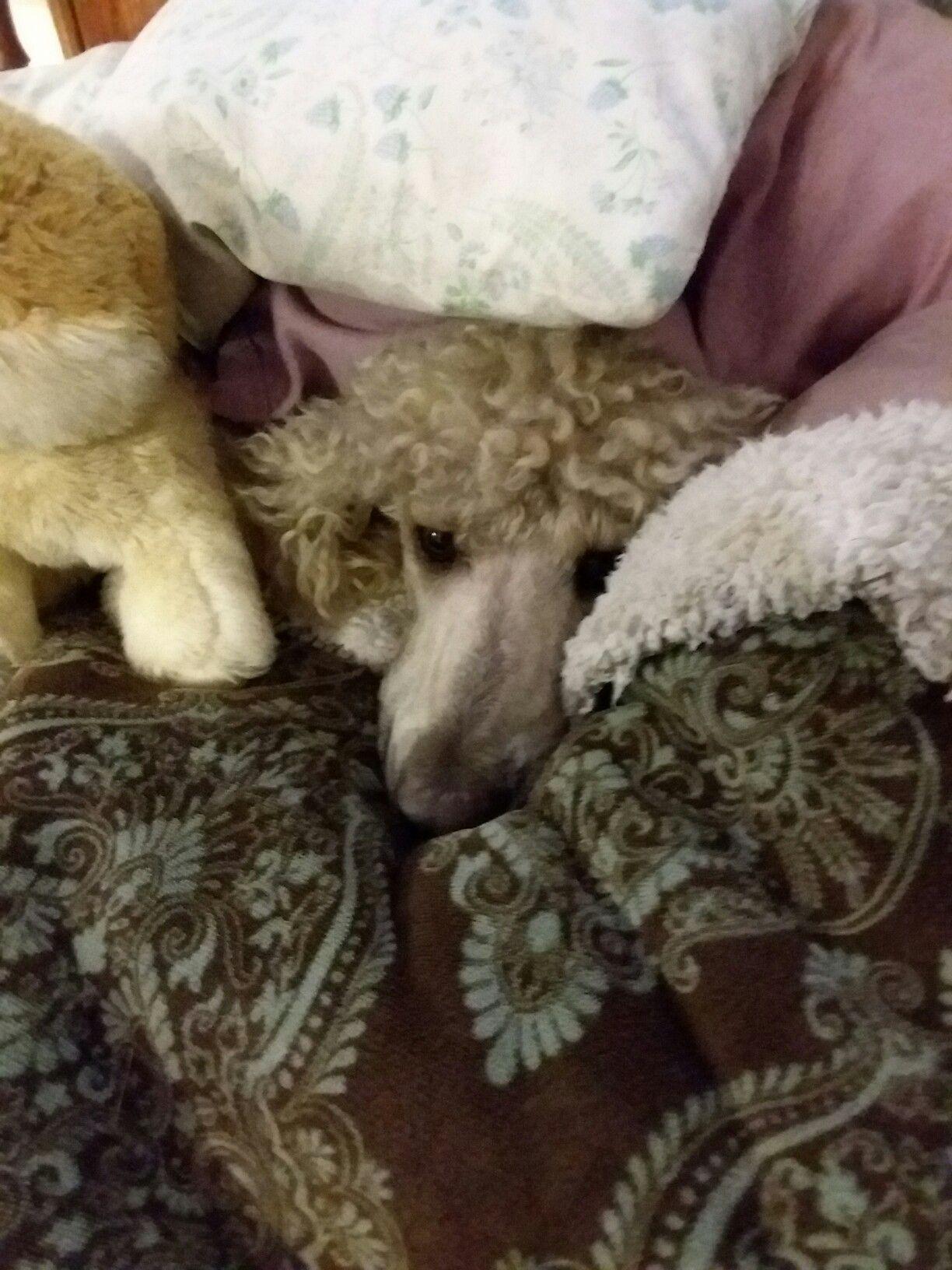 Tucker with his stuffed pomerian.