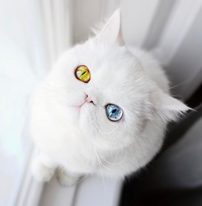 Kitten With Heterochromia Will Hypnotize You With Her Magical Eyes Animals Beautiful Cats White Cats