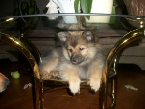 Cute Pomeranian Puppies St Catharines Dogs Puppies For Sale Kijiji St Catharines Canada Pet Dogs Puppies Dogs And Puppies Pomeranian Puppy