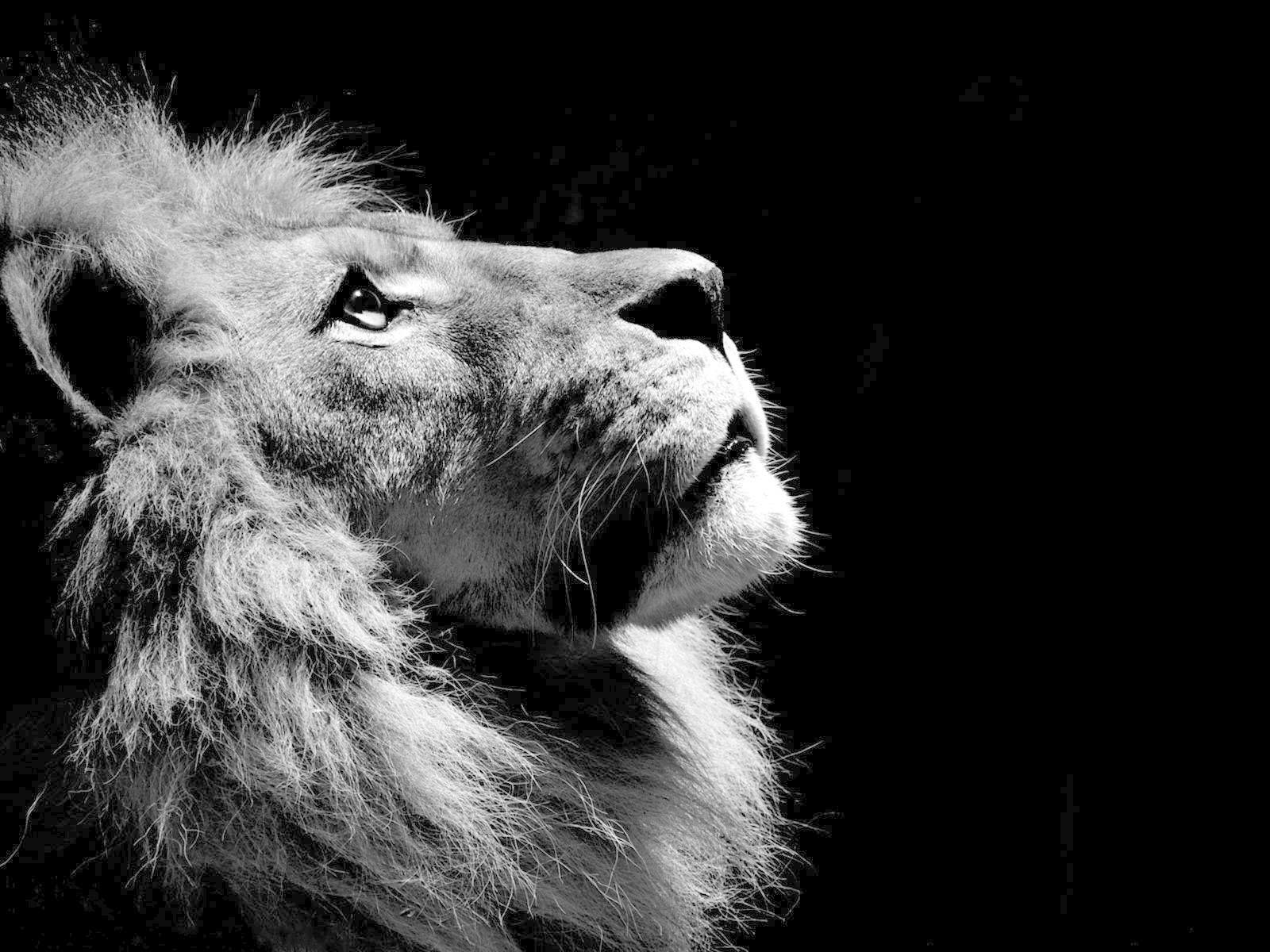 Black And White Lion Wallpaper Wallpaper Ideas