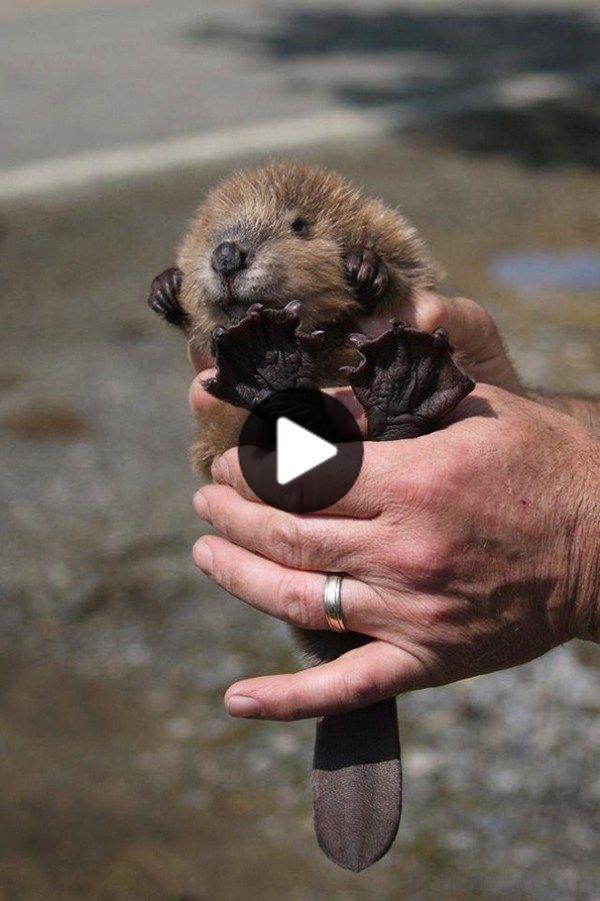 30 Of The Most Awwwdorable Baby Beavers -… #cutestanimals #animalsart