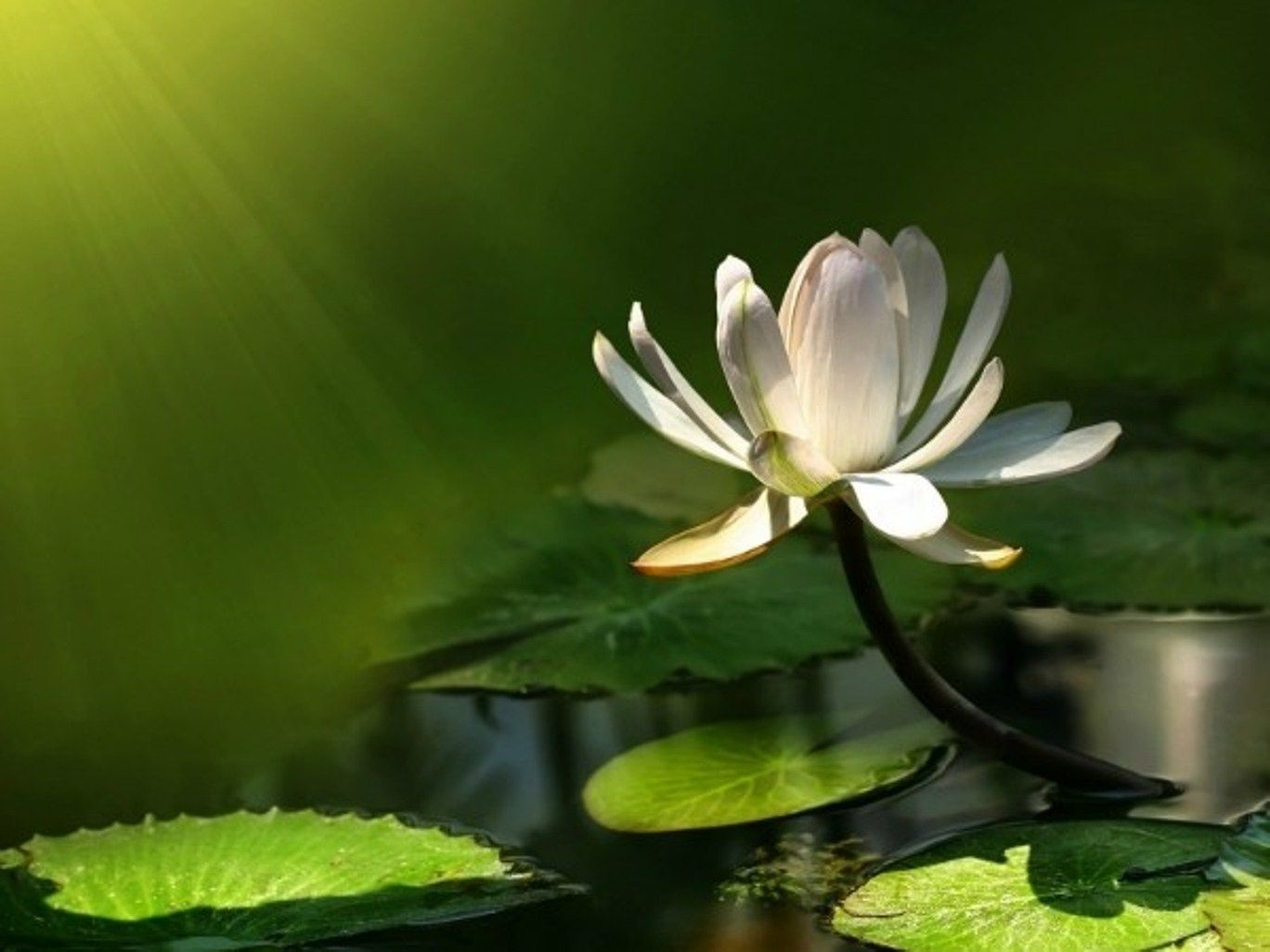 Flower Wallpaper | Lotus Wallpaper, flower desktop 4 | HD ...