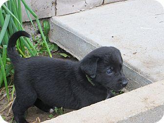 Manhattan, KS Cattle Dog Mix. Meet Patch, a puppy for